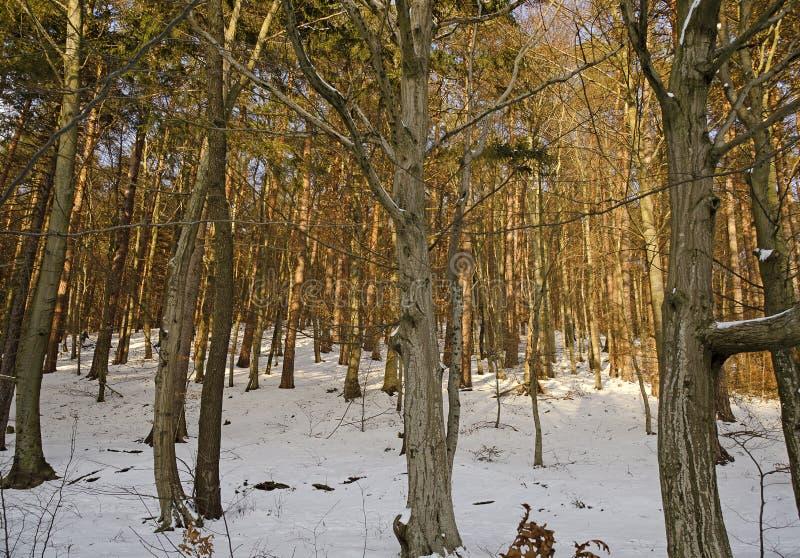 Foresta soleggiata con terra innevata immagine stock libera da diritti