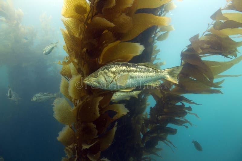 Foresta subacquea del kelp, isola di Catalina, California immagine stock