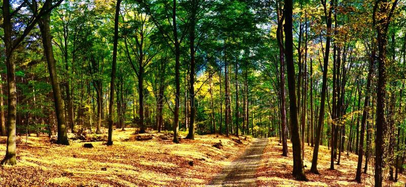 Foresta/terreno boscoso degli alberi di faggio con la strada della ghiaia a luce del giorno di pomeriggio di autunno immagine stock libera da diritti
