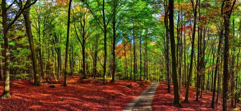 Foresta/terreno boscoso degli alberi di faggio con la strada della ghiaia a luce del giorno di pomeriggio di autunno fotografie stock libere da diritti