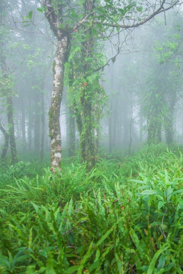Foresta tropicale antica nella flora, nel muschio, nel lichene e nella felce freschi della foschia negli alberi e nelle priorità  fotografia stock