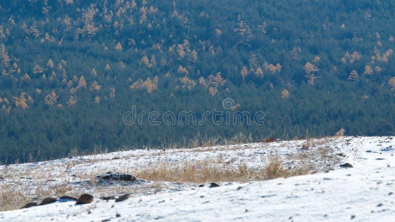 Foresta variopinta nell'isola di Olkhon, il lago Baikal fotografia stock