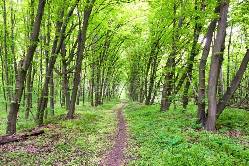 Foresta verde con il percorso, gli alberi ed il sole immagine stock libera da diritti