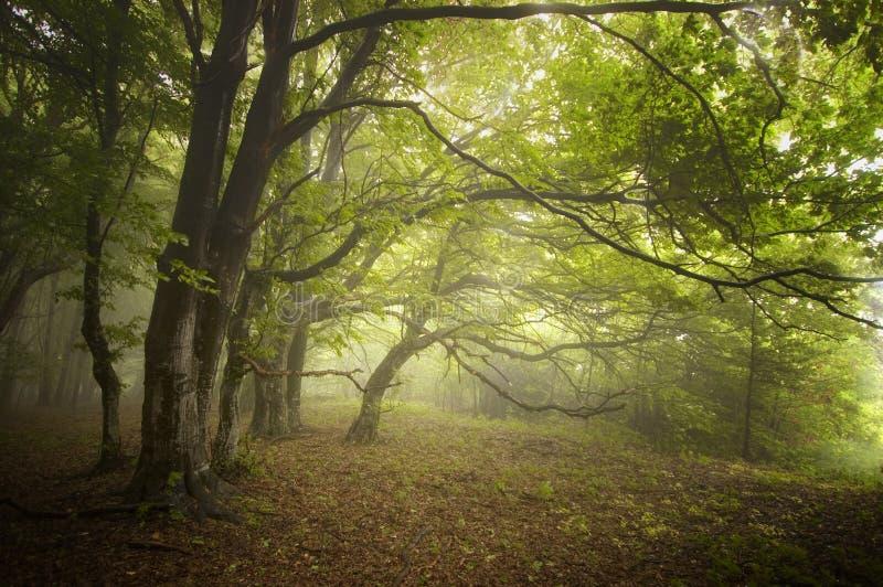 Foresta verde con nebbia ed alberi sconosciuti in autunno in anticipo fotografia stock