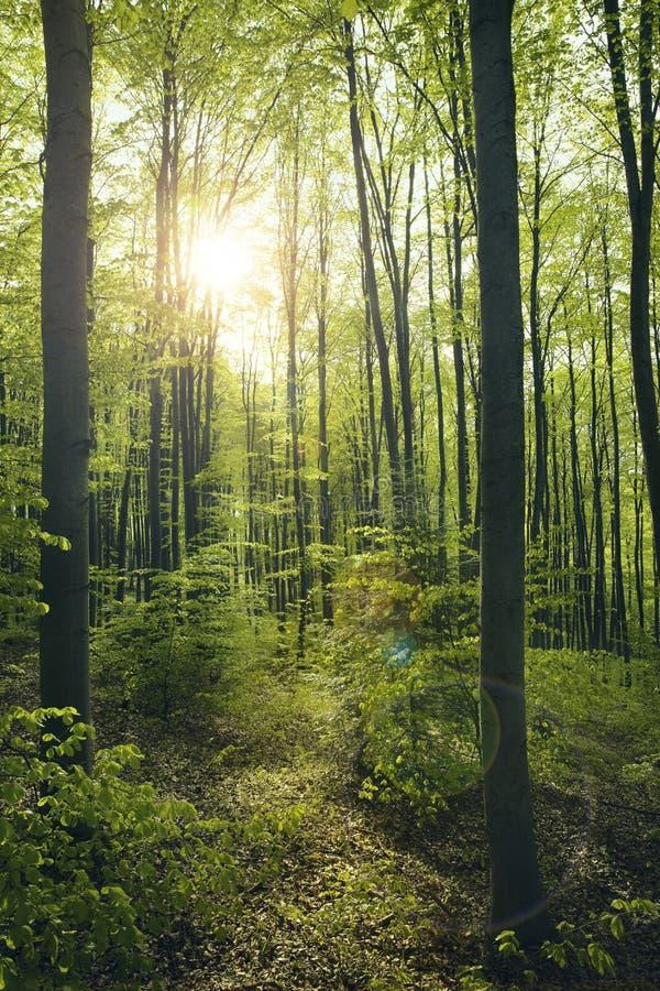 Foresta verde del faggio fotografie stock libere da diritti