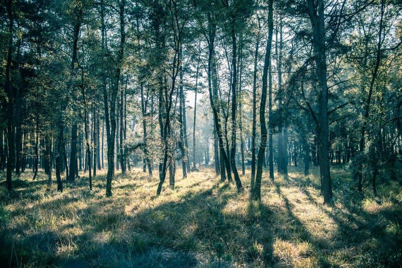 Foresta verde del pino fotografia stock