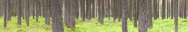 Foresta verde del pino di estate fotografie stock libere da diritti