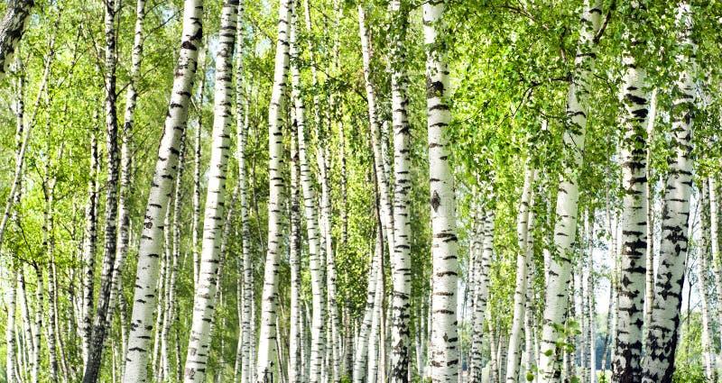 Foresta verde della betulla di estate immagini stock libere da diritti