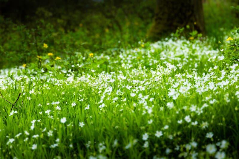 Foresta verde di fioritura, fondo della natura della molla fotografia stock