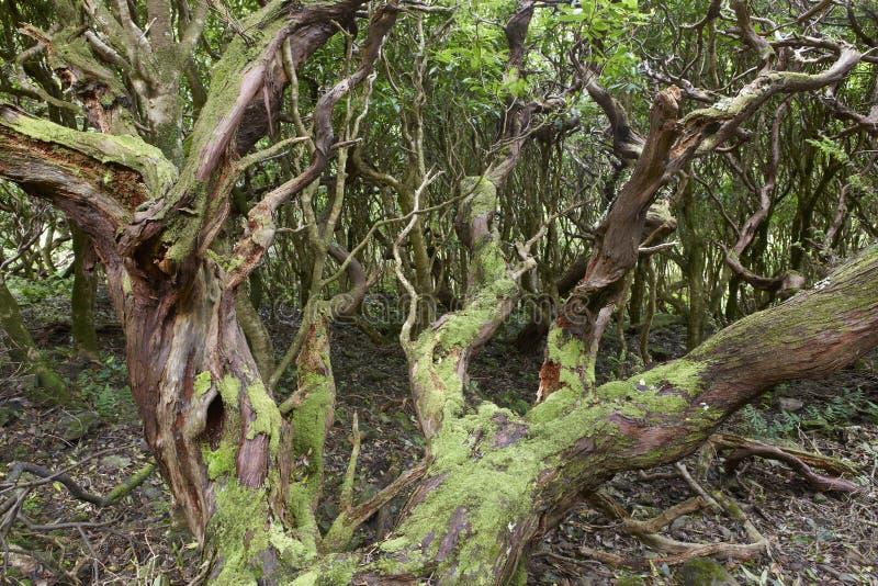 Foresta verde subtropicale nell'isola del Flores, arcipelago delle Azzorre P immagine stock libera da diritti