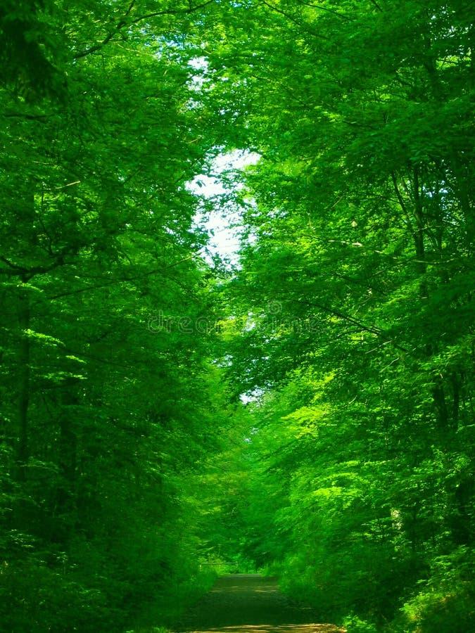 Foresta verde verde fotografia stock libera da diritti