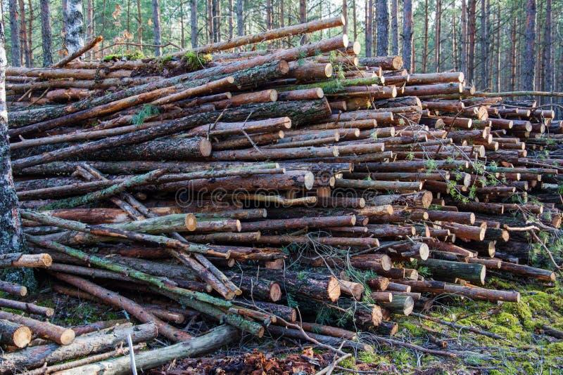 Foreste deforestate - abbattimento di alberi nei boschi Industria forestale Pile di pino abbattuto sullo sfondo della foresta fotografia stock libera da diritti