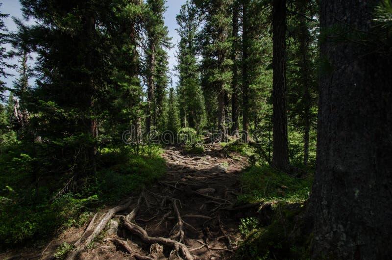 Foreste profonde in Siberia immagine stock