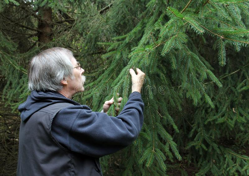 Forester inspecting a Pine Tree. Forester is inspecting the branches of a Pine Tree royalty free stock photo