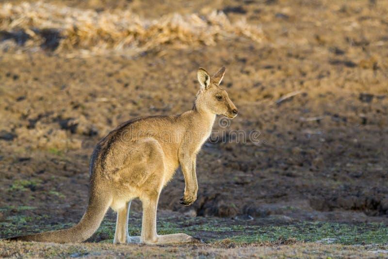 Forester Kangaroo Macropus giganteus one of the biggest kangaroos. royalty free stock photos