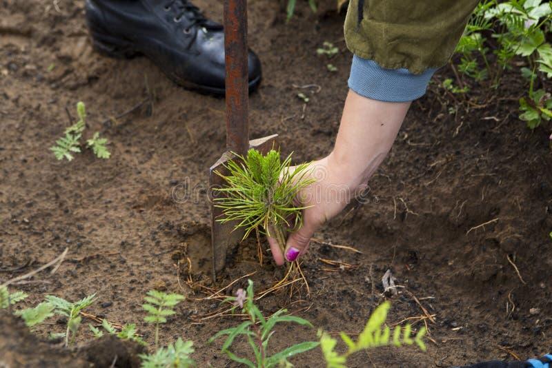 Forester r drzewa Rolnicy zasadzają drzewa fotografia stock