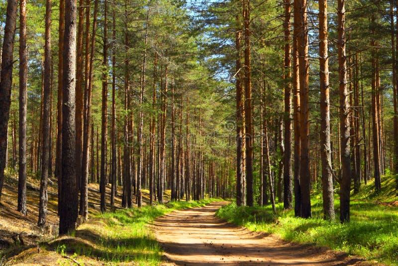 ForestForest Straße der Kiefer lizenzfreie stockfotos