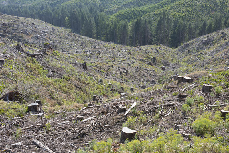 Forestry clear-cut, signs of reforestation. stock image