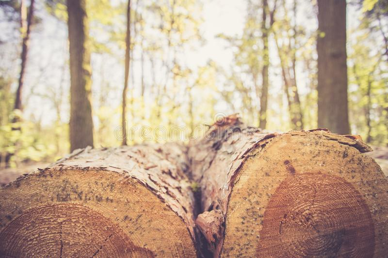 Forestry: fallen tree trunk in the wood, blurry background. Close up picture of a fallen tree trunk, forest in the blurry background log cut machine wood ageing royalty free stock photography
