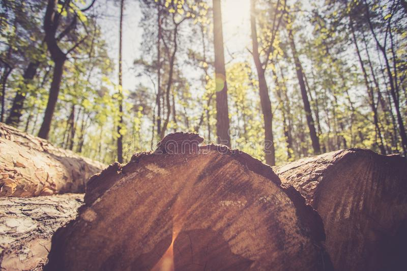 Forestry: fallen tree trunk in the wood, blurry background. Close up picture of a fallen tree trunk, forest in the blurry background log cut machine wood ageing stock photos