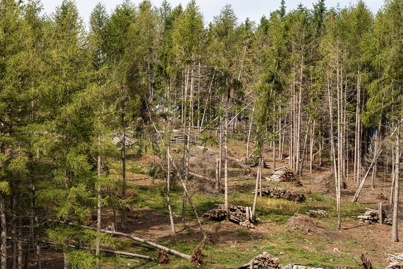 Forestry and logging in a pine forest - Italian Alps royalty free stock photos