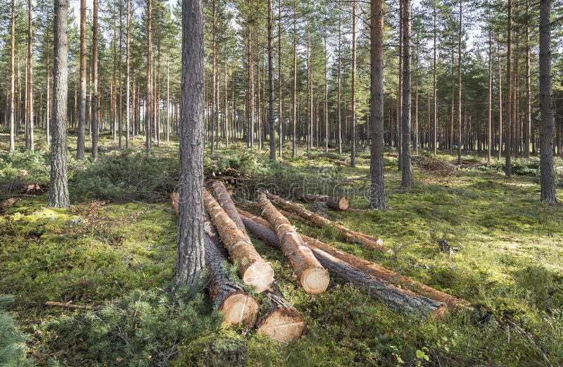 Forestry in pine forest in Finland stock photography