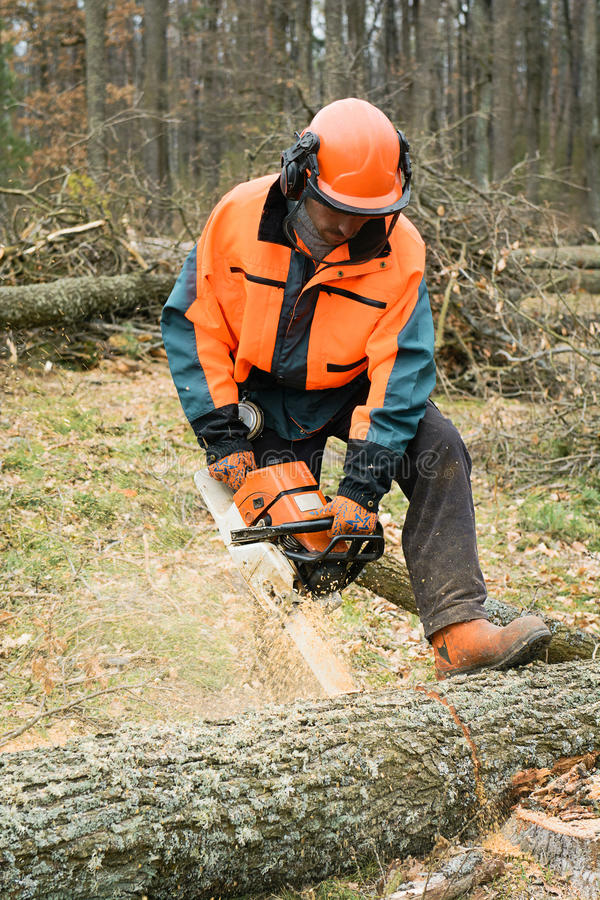 Forestry worker with chainsaw is sawing a log. Process of logging. Forestry worker with chainsaw is sawing a log. Sample of works on forest logging stock photos