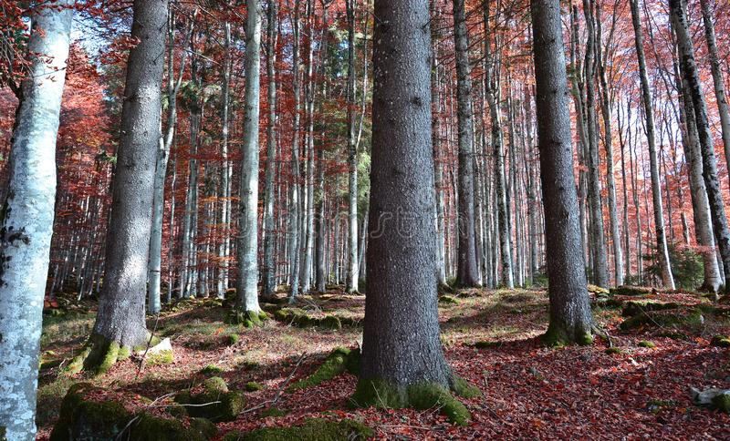 The forests in the fall seem magical. Winter autumn, and snow come to the mountains for skiing and fun stock photography