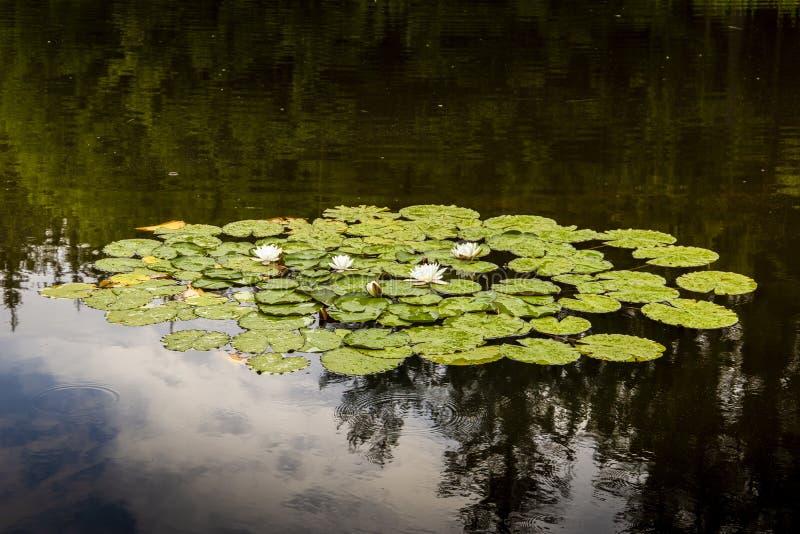 Forestsee mit Seerosen unter Regen lizenzfreie stockfotos