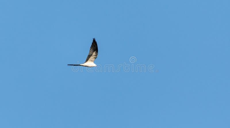 Forficatusen för Swallowtail drakeElanoides flyger över en blå himmel royaltyfri fotografi
