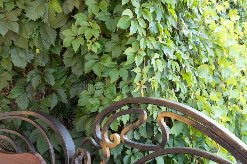 Forged bench and fence on a background of green bushes.Background from green plants. Hedge. Creative vintage background. Forged bench and fence on a background royalty free stock images