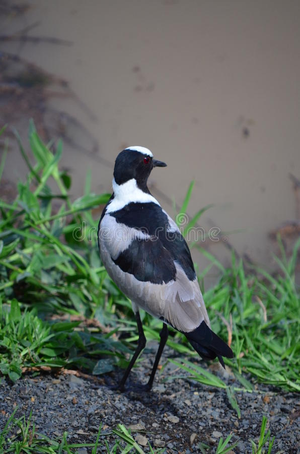 Forgeron Lapwing images stock