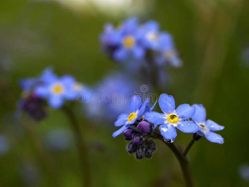 Download Forget Me Not stock photo. Image of flower, myosotis, forget - 129596
