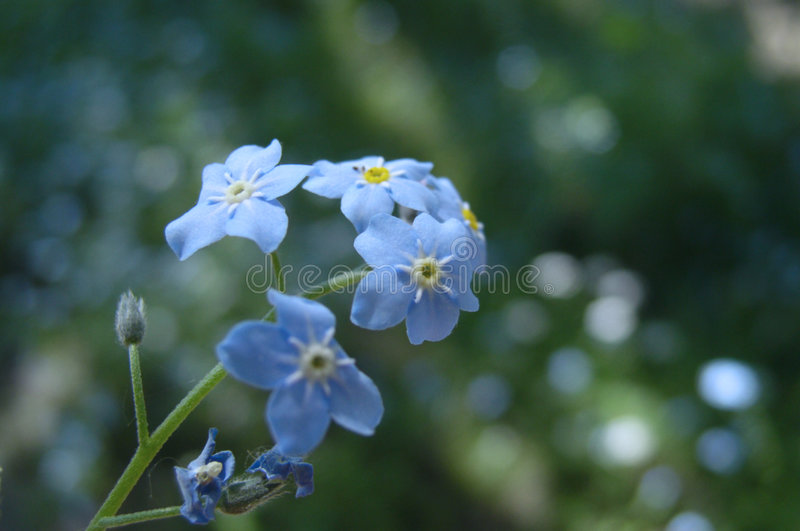 Download Forget-me-not stock image. Image of summer, forgetmenot - 133129