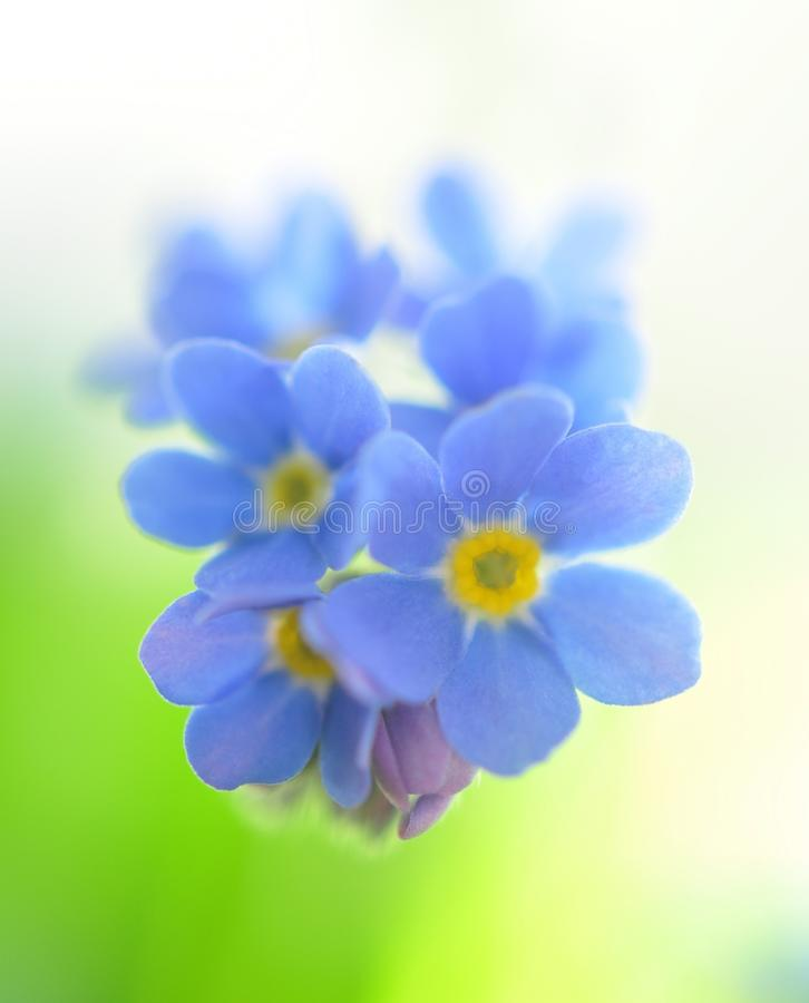 Download Forget me not stock image. Image of bloom, beauty, botanic - 13614541