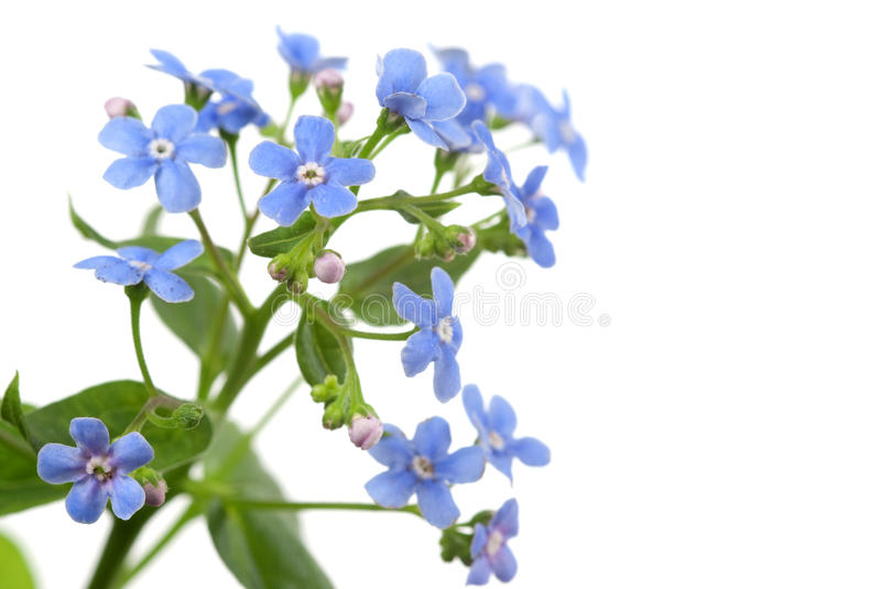 Download Forget-me-not Stock Images - Image: 14229654