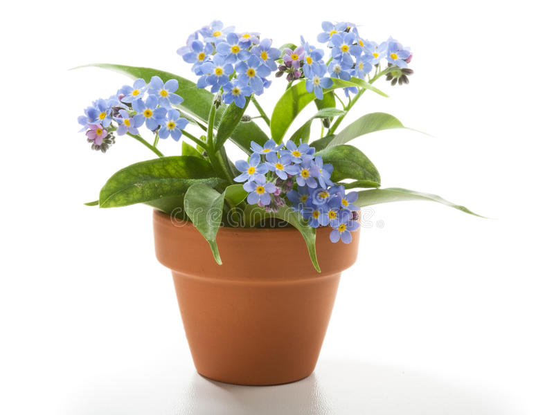 Download Forget-Me-Not stock photo. Image of nobody, studio, shot - 19264744