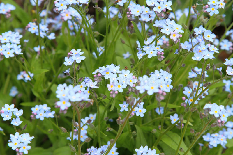 Download Forget me not stock image. Image of natural, bloom, image - 19617355