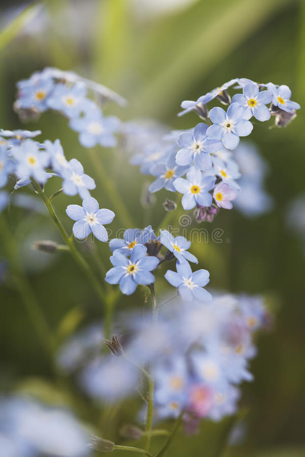 Download Forget-me-not stock photo. Image of forget, boraginaceae - 21288768