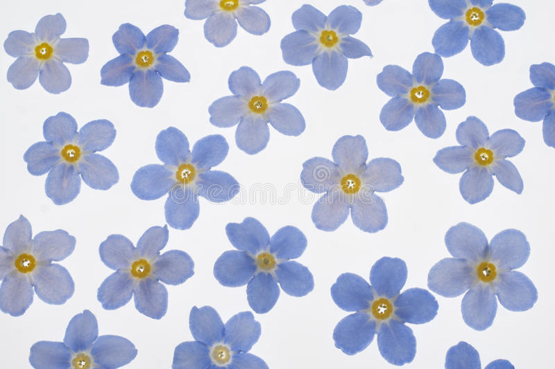 Forget Me Not Wedding Invitations: Forget-me-not Background 5 Stock Vector. Illustration Of