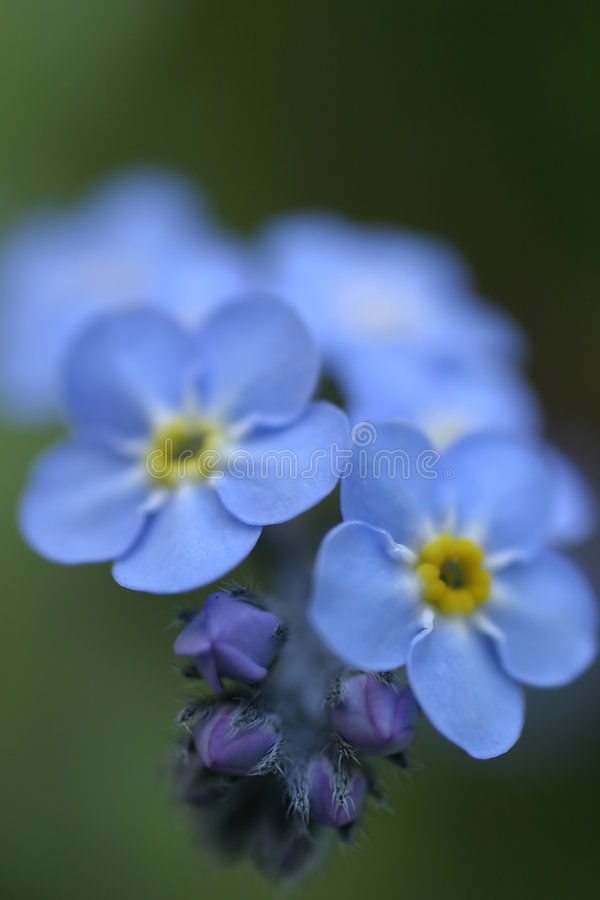 Forget-Me-Not 3 royalty free stock image