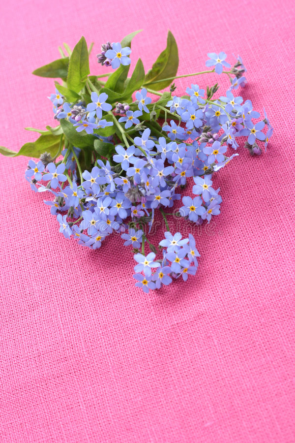 Download Forget-me-not Royalty Free Stock Photos - Image: 5143538