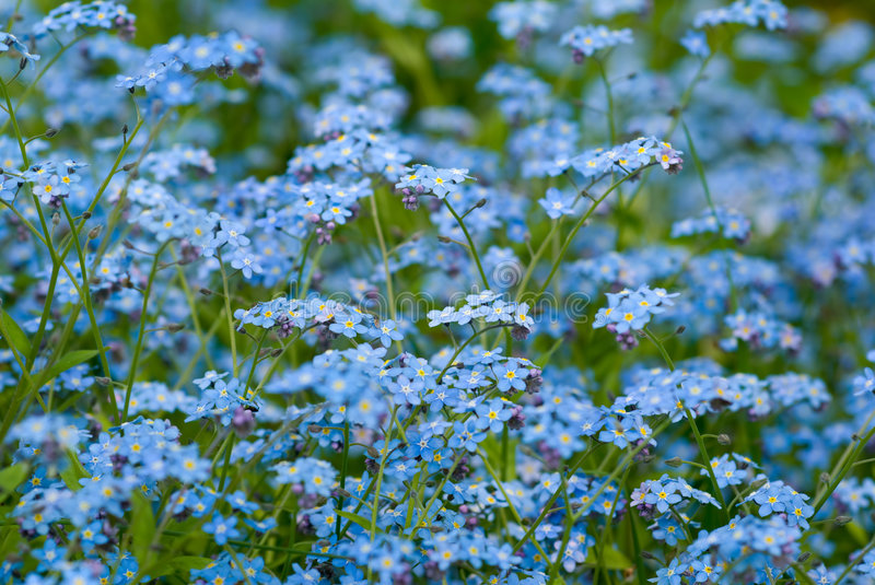 Download Forget-me-not. stock photo. Image of forget, spring, blue - 6389852