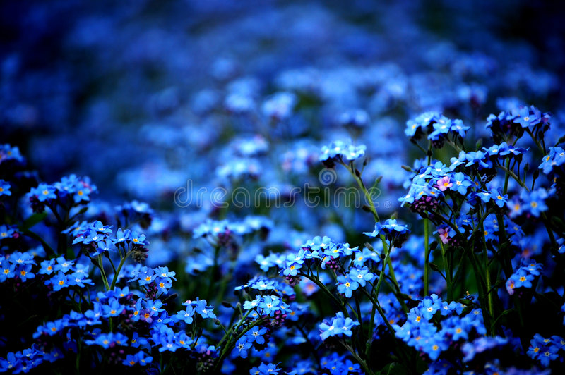 Download Forget-me-not stock image. Image of fresh, many, nature - 709557