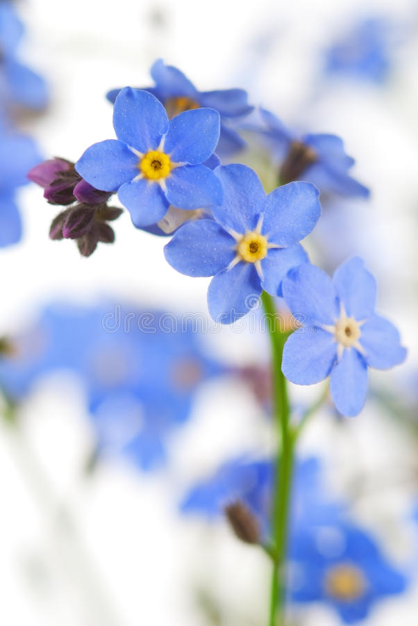 Forget-me-not royalty free stock photography