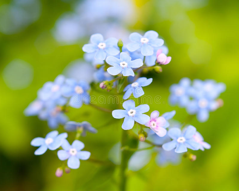 The forget-me-not blossoms stock photos