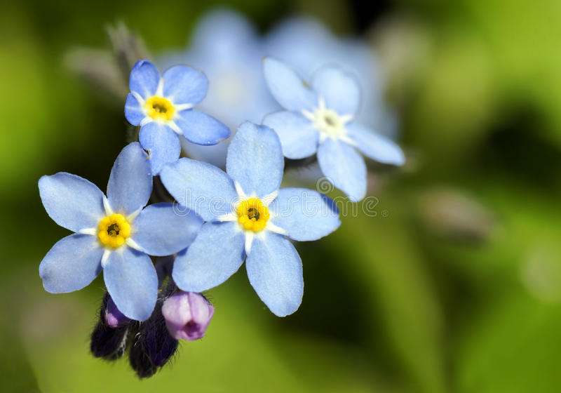Forget-me-not blue flower royalty free stock photography