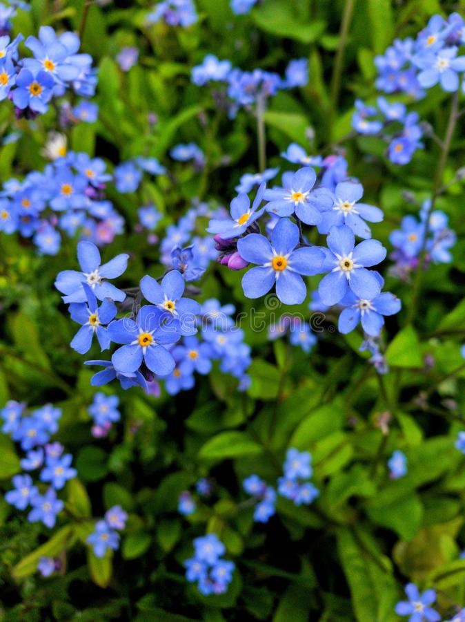 Forget-me-not, blue flower a nature sign stock images