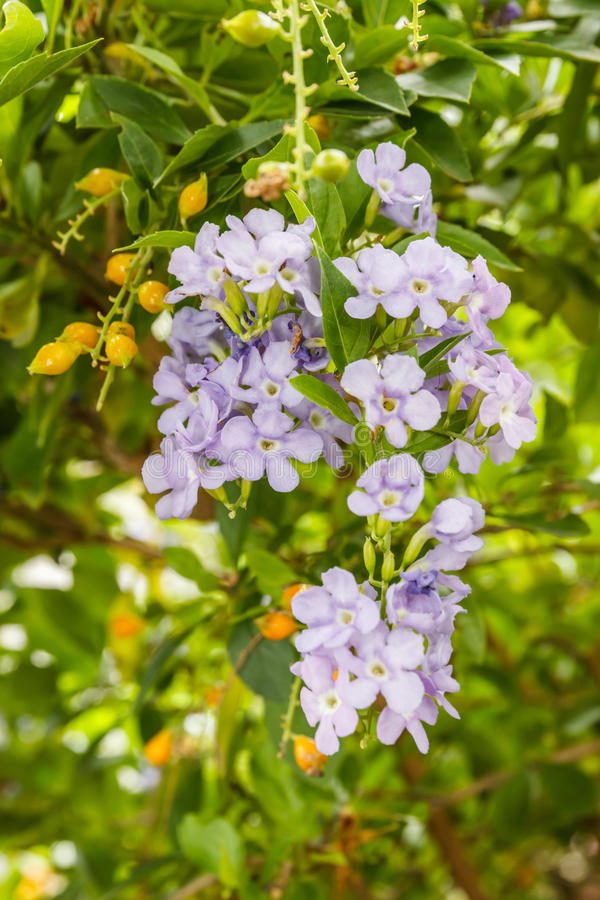 Download Forget-me-not stock photo. Image of bloom, concept, not - 39510038