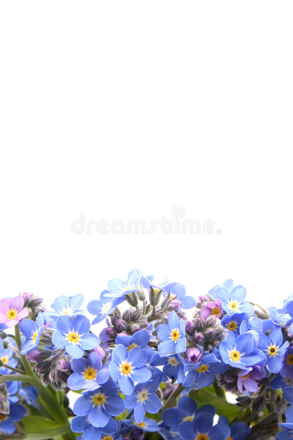 Forget me not border royalty free stock photo